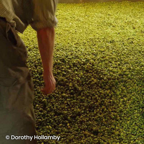Hops and hop grower