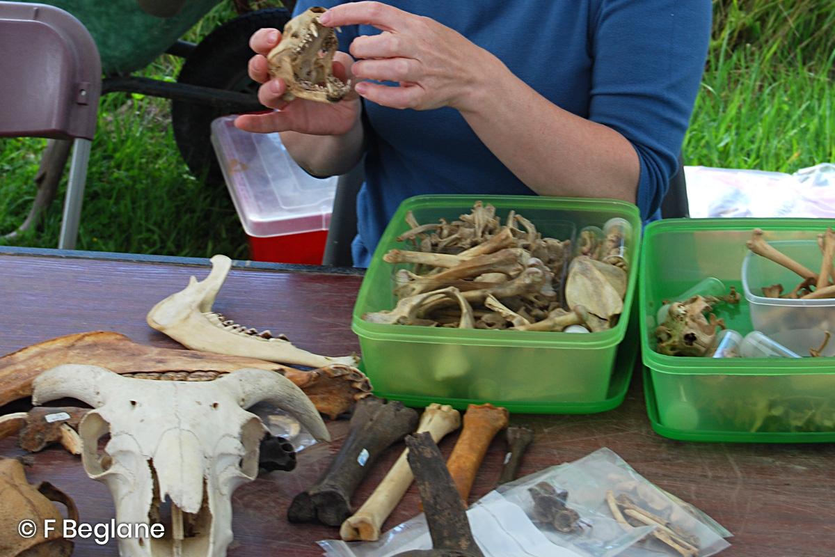 Dr Fiona Beglane examines a badger skull on site